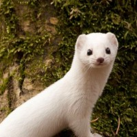 Pop Go the Weasels